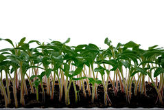Seedlings of tomato Royalty Free Stock Images