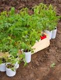 Seedlings tomato Stock Photography