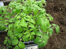 Seedlings of tomato. As early as possible in the spring gardeners grow seedlings of tomato stock photo