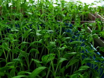 Seedlings of tomato. Cultivation fetus nature sprout Stock Photo