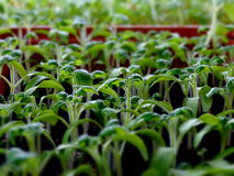 Seedlings of tomato. Cultivation fetus nature sprout Royalty Free Stock Photography