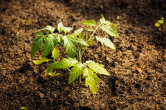 Seedlings of tomato. Green sprouts of tomatoes in the ground Royalty Free Stock Images