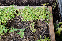 Seedlings of tomato. Growing tomatoes in the greenhouse. Seedlin Royalty Free Stock Photos