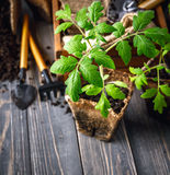Seedlings tomato in pot with garden tools Royalty Free Stock Image