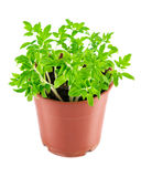 Seedlings tomato in pot Stock Photography