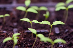 Seedlings of tomato sprouts Stock Photos