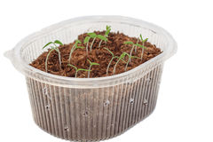 Seedlings of tomatoes in the box. Stock Photo