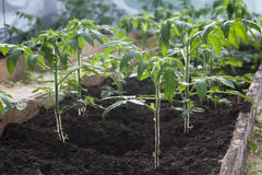 Seedlings of tomatoes growing in the greenhouse.  Royalty Free Stock Photo