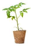 Seedlings of tomatoes in the peat pot. Stock Photo