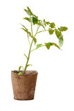 Seedlings of tomatoes in the peat pot. Royalty Free Stock Image