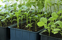 Seedlings of tomatoes, peppers and eggplant. Stock Image