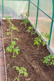 Seedlings of tomatoes in the seedbed Stock Photography