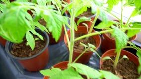 Seedlings of tomatoes. stock footage