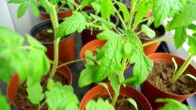 Seedlings of tomatoes. stock video footage