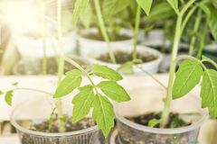 Seedlings of tomatoes and peppers in a Sun ray in individual pots before planting in the ground. Juicy greens of tomato seedlings royalty free stock image