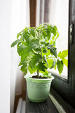 Seedlings of tomatoes on the windowsill Royalty Free Stock Photo