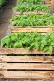 Seedlings of tomatoes Stock Photo