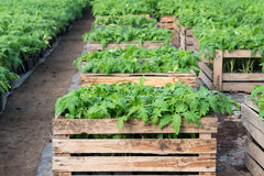 Seedlings of tomatoes Stock Photography