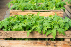 Seedlings of tomatoes Stock Images