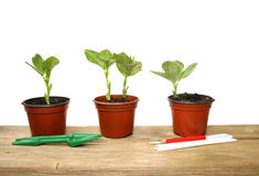 Seedlings and tools. Seedlings in pots with tools and labels Royalty Free Stock Photography