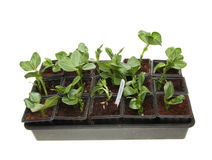 Seedlings in a tray Stock Photography