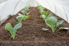 Seedlings under cover in the spring stock image