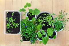 Seedlings of various plants on a wooden background. Seedlings of various plants in round and rectangular bowl on a wooden background. View from above Stock Photography