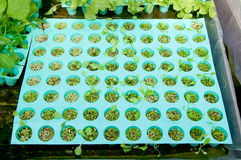 The Seedlings vegetable Royalty Free Stock Photo