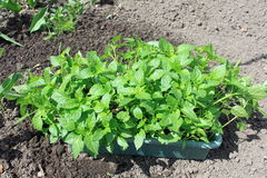 Seedlings on the vegetable tray. Stock Photo