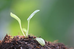 Seedlings of vegetables on the ground. Royalty Free Stock Image