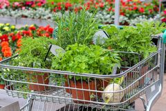 Seedlings of vegetables in shop trolley. Shopping at garden center. royalty free stock images