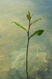 Seedlings in water. Stock Photo