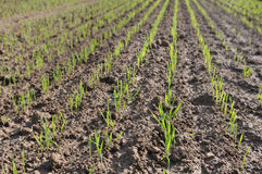 Seedlings of wheat Royalty Free Stock Photo