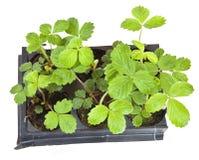 Seedlings of the wild strawberries royalty free stock image