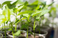 seedlings grown sprouts of bell pepper in cups on the windowsill royalty free stock image