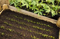 Seedlings in wooden crate stock photo