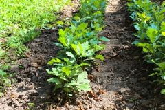 Seedlings of young oak trees in forestry stock photo