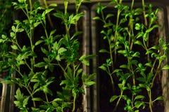 Seedlings Royalty Free Stock Images