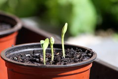 Seedlings (young plants) growing in a pot of compost. This picture shows three seedlings growing out of a small pot filled with compost. These young plants are Royalty Free Stock Photography