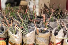 Seedlings of young roses in a shop window in a garden market. A large selection of plants in pots, sale royalty free stock photo