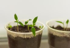 Seedlings,young shoots of pepper stock photography