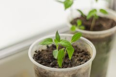 Seedlings, young sprouts grow in cups on the windowsill royalty free stock photo