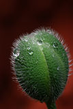 seedpod мака Стоковые Фотографии RF