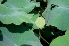 Seedpod av lotusblomman Arkivfoton