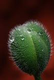 Seedpod de la amapola Fotos de archivo libres de regalías