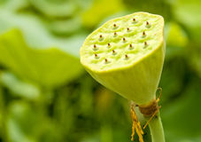 Seedpod de lotus Images libres de droits