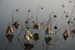 Seedpod e foglia di Lotus nella caduta Fotografia Stock