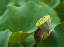 Seedpod of the lotus Stock Photos