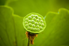 Seedpod of lotus Stock Image