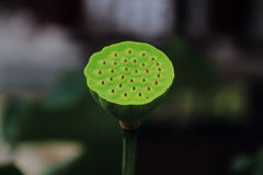 Seedpod of the lotus Royalty Free Stock Photography